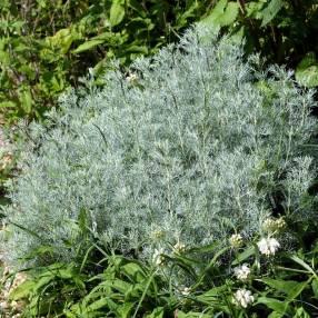 Artemisia alba 'Canescens' - Armoise blanche