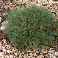 Artemisia herba-alba - Armoise herbe blanche