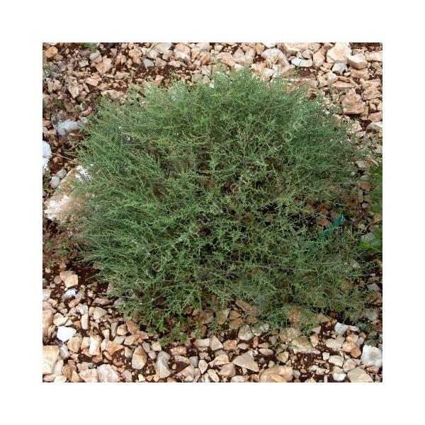 Artemisia herba alba - Armoise herbe blanche