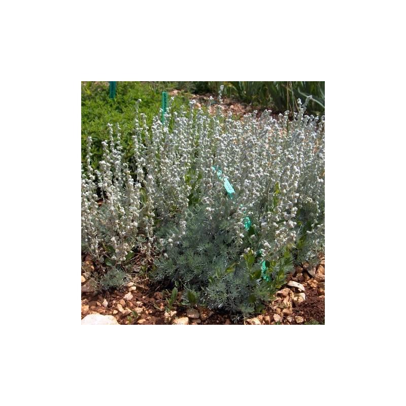 Artemisia lanata - Armoise laineuse.