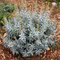 Artemisia ludoviciana 'Valerie Finnis' - Armoise