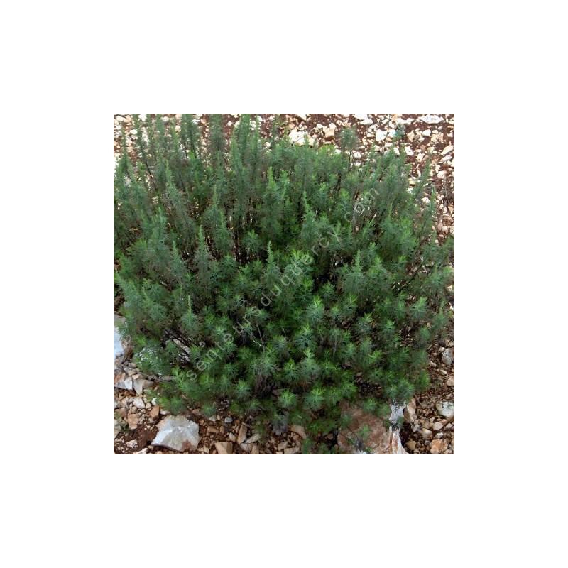 Artemisia molinieri