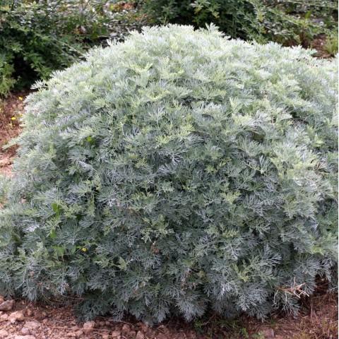 Artemisia 'Powis Castle' - Armoise