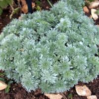 Artemisia schmidtiana 'Nana' - Armoise