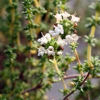 Thymus carnosus - Thym de mer