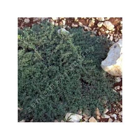 Thymus ciliatus - Thym cilié ensemble