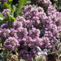 Thymus doerfleri - Thym