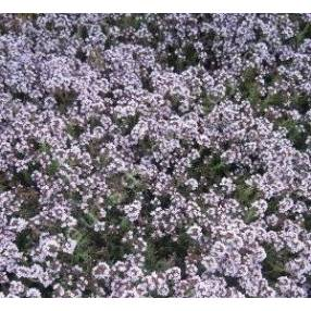 Thymus 'Duftkissen'