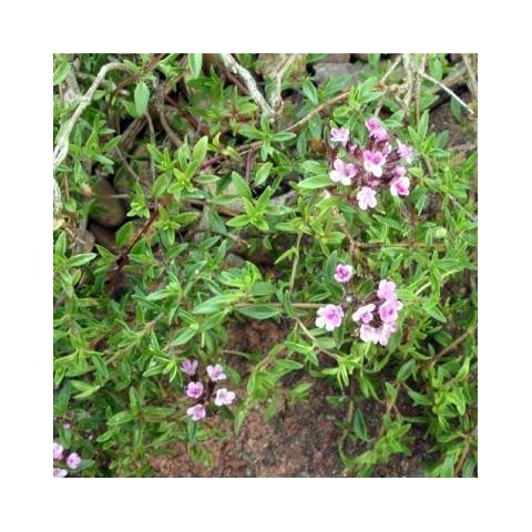 Thymus herba-barona 'Parfum Citron' - Thym corse citronné