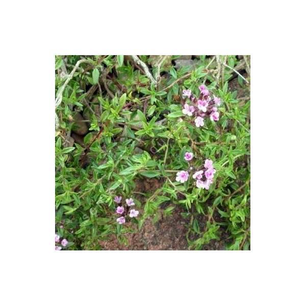Thymus herba-barona 'Lemon Scented' - Thym corse citronné