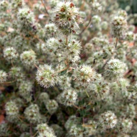 Thym résineux - Thymus mastichina