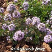 Thymus nitens - Thym luisant