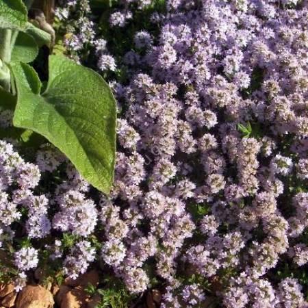 Thym luisant - Thymus nitens