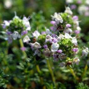 Thym àodeur de Pin - Thymus 'Pinewood'