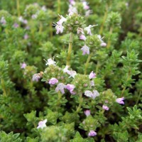 Thymus 'Pinewood' - Thym àodeur de Pin