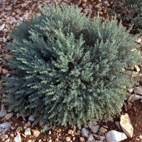Thymus 'Provence' - Thym à odeur d'orange
