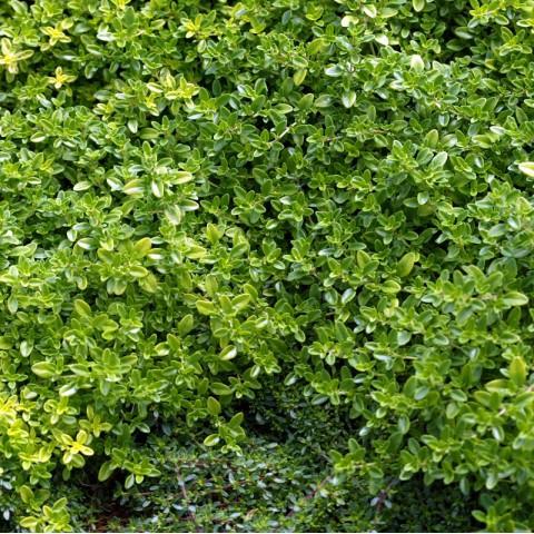Thymus pulegioides 'Bertram Anderson'