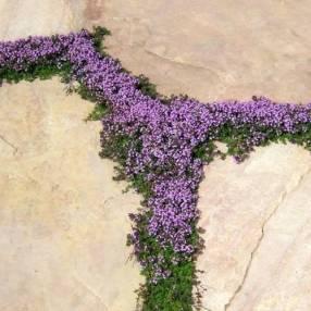 Thymus serpyllum 'Elfin' - Thym serpolet nain