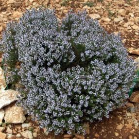 Thymus vulgaris - Thym commun