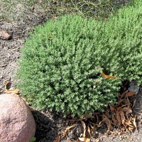 Thymus vulgaris 'Compactus' - Thym commun compacte