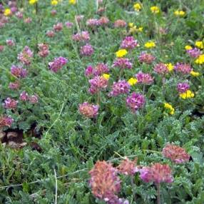 Anthyllis montana - Anthyllide des montagnes