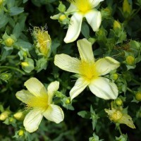 Hypericum olympicum 'Citrinum' - Millepertuis de l'Olympe