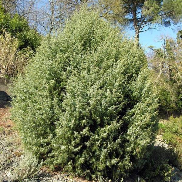 Gen vrier cade juniperus oxycedrus vente d 39 arbuste en for Arbuste en ligne