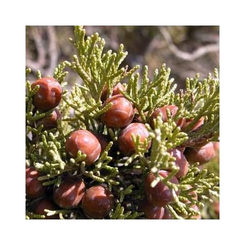 Juniperus phoenicea var. turbinata - Genévrier de mer