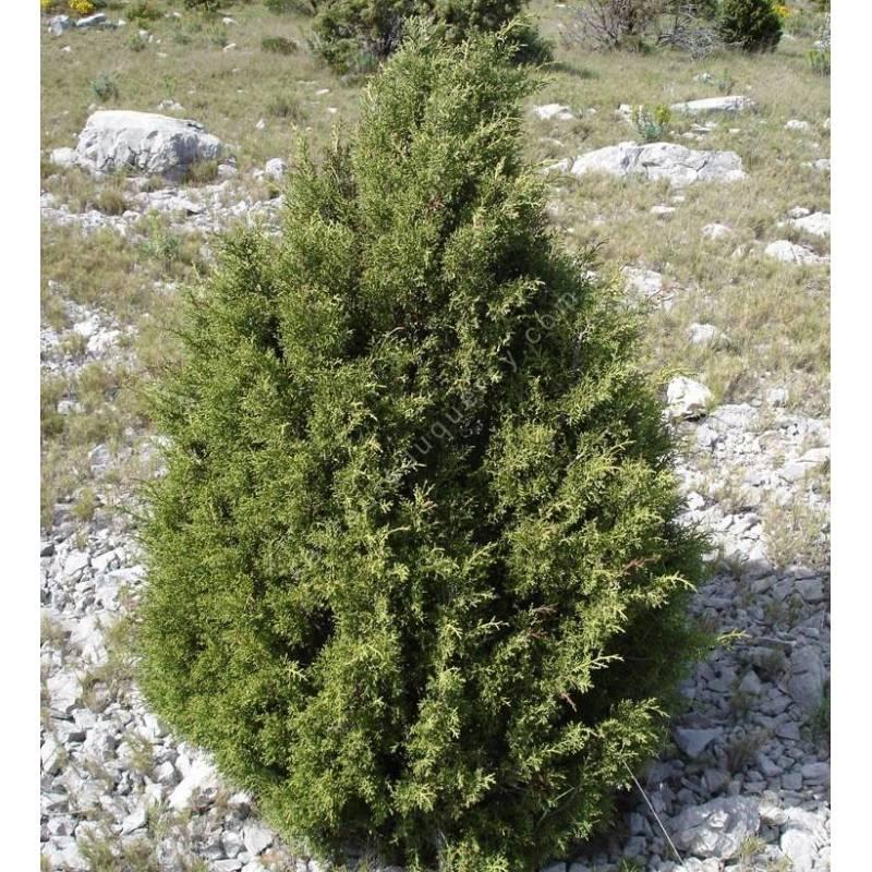 Juniperus phoenicea - Genévrier rouge