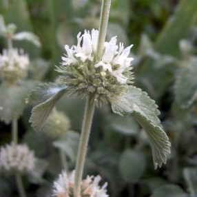 Marrubium incanum - Marrube grise