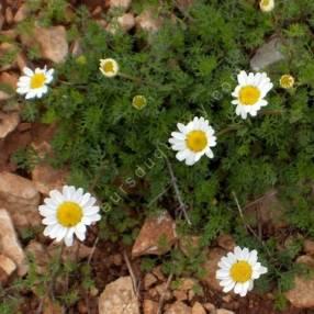 Matricaria tchihatchewii - Matricaire