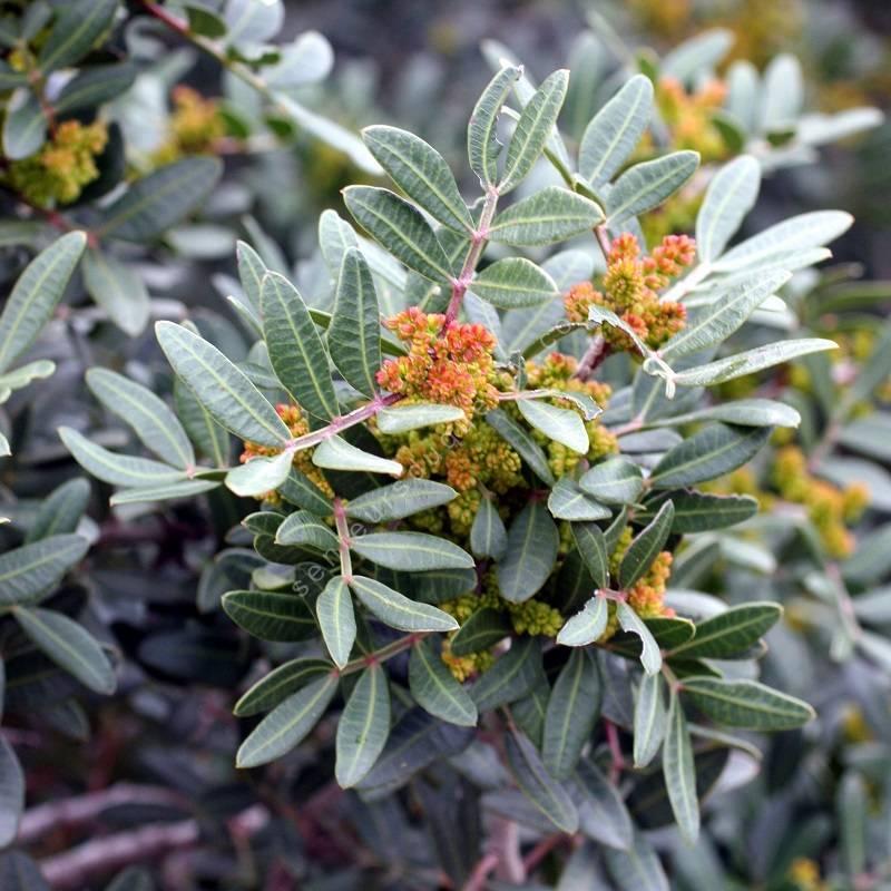 Pistacia lentiscus - Pistachier lentisque