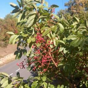 Pistacia terebinthus - Pistachier térébinthe