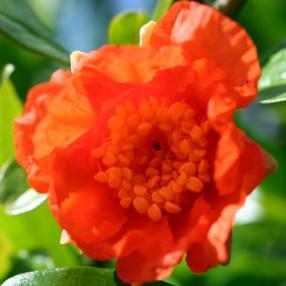 Punica granatum 'Provence' - Grenadier à fruit