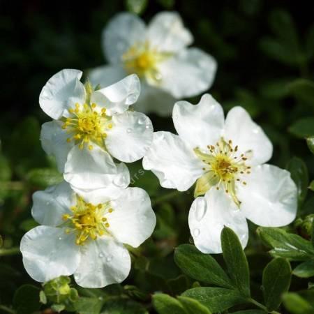 Potentilla fruticosa 'Abbotswood' - Potentille arbustive blanche