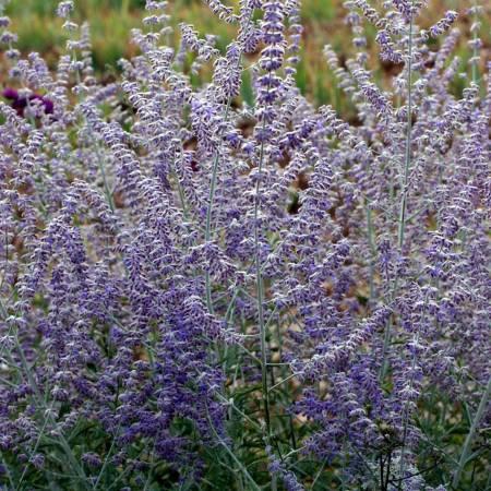 Perovskia 'Blue Spire' - Lavande d'Afghanistan plante