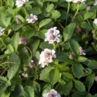 Phyla nodiflora, Lippia