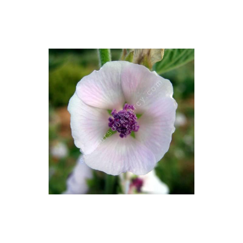 Althaea officinalis - Guimauve officinale