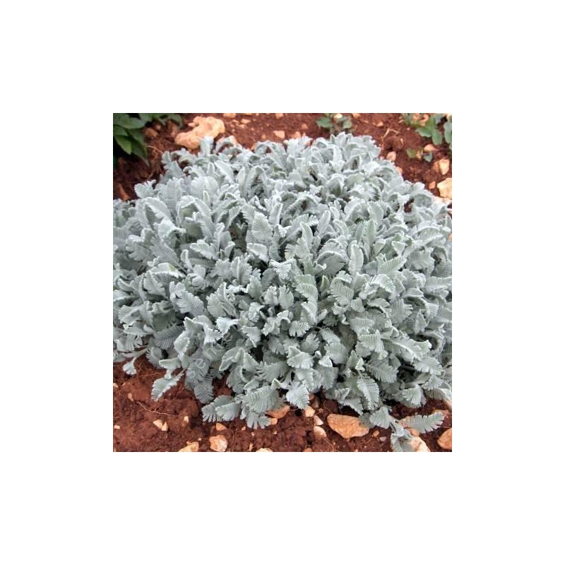 Tanacetum densum subsp. amanii - Tanaisie d'Arménie