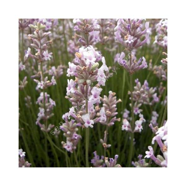 Lavande rose - Lavandula angustifolia 'Loddon Pink'