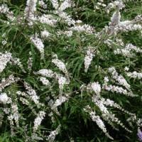 Vitex agnus-castus 'Alba' - Gattilier blanc, Poivre des moines