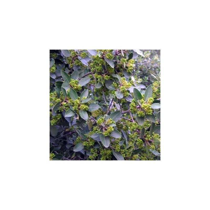 Rhamnus alaternus - Nerpruns