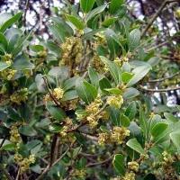 Phillyrea latifolia - Filaire àlarge feuille