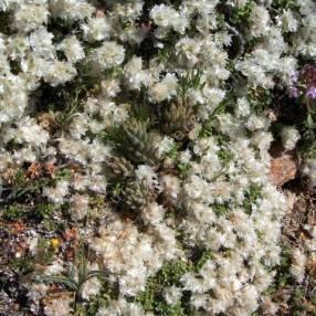 Paronychia kapela subsp. serpyllifolia - Paronyque à feuilles de serpolet