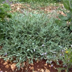 Salvia lavandulifolia subsp. oxyodon - Sauge àfeuille de lavande