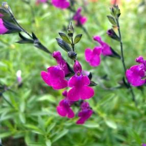 Salvia 'Serpyllifolia' - Sauge arbustive violette