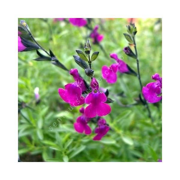 Fleur de Salvia 'Serpyllifolia' - Sauge arbustive violette