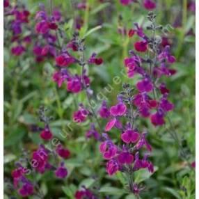 Sauge arbustive violette 'Serpyllifolia'