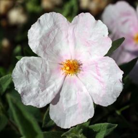 Cistus x pulverulentus 'Fiona' - Ciste pulvérulent