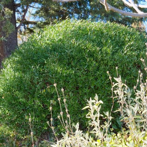 Phillyrea angustifolia - Filaire à feuilles étroites